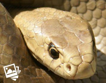 Australian Snakes - Photo Gallery