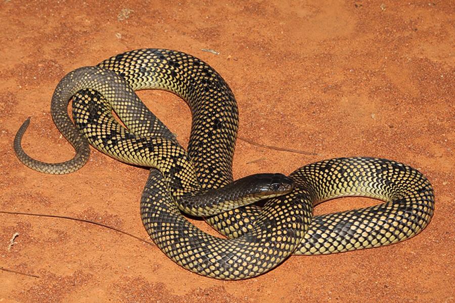 Butler's / Spotted Mulga Snake