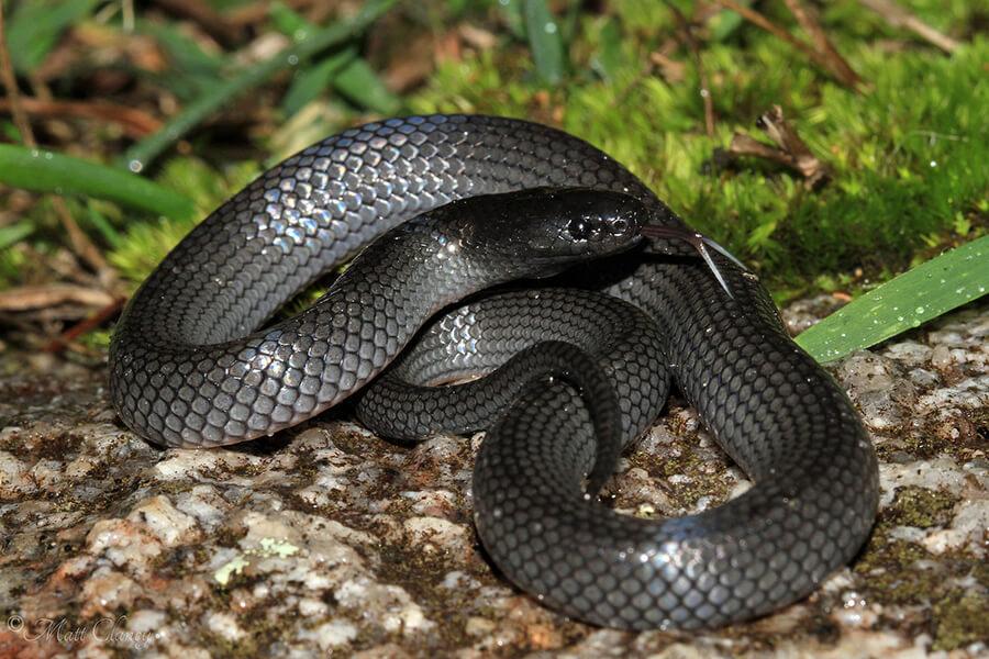Small-Eyed Snake