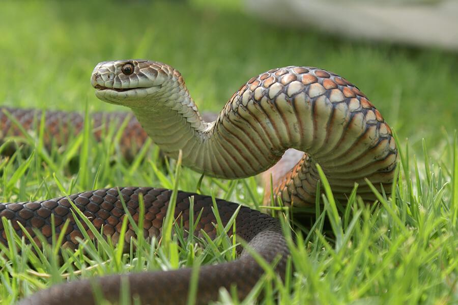 Lowlands Copperhead Snake