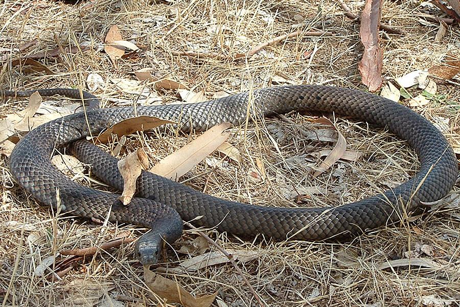 Peninsula Brown Snake