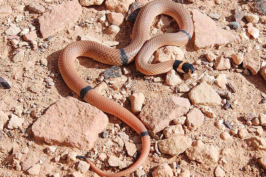 Ringed Brown Snake