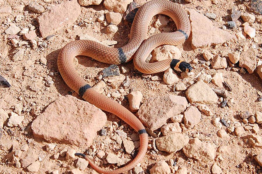 Ringed Brown Snake