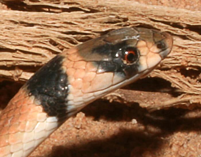 Ringed Brown Snake Wa