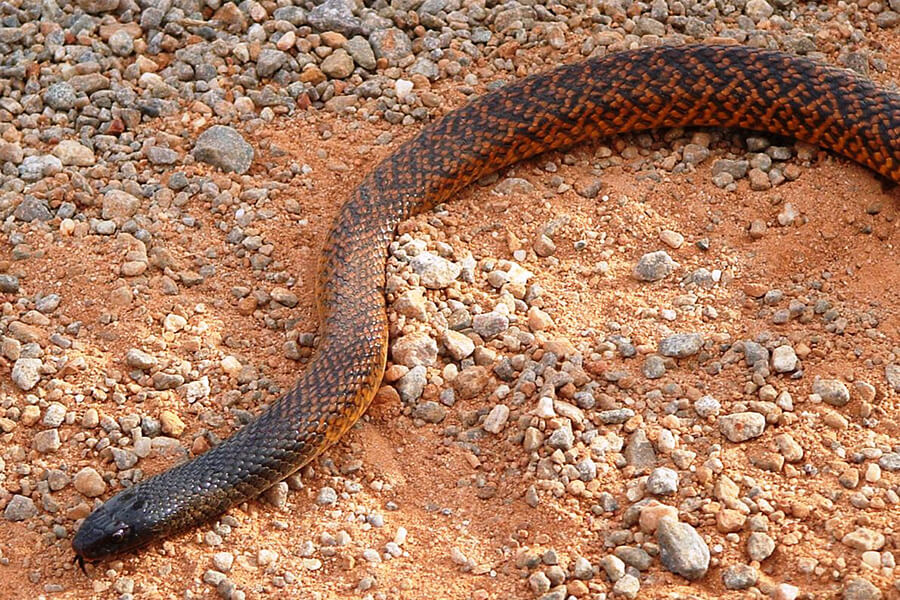 Western Brown Snake / Gwardar